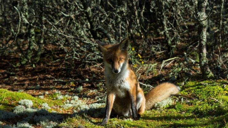 Сидящий лис